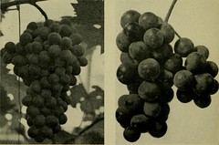 "Image from page 245 of ""Vines and how to grow them; a manual of climbing plants for flower, foliage and fruit effects, both ornamental and useful, including those shrubs and similar forms that may be used as vines"" (1911)"