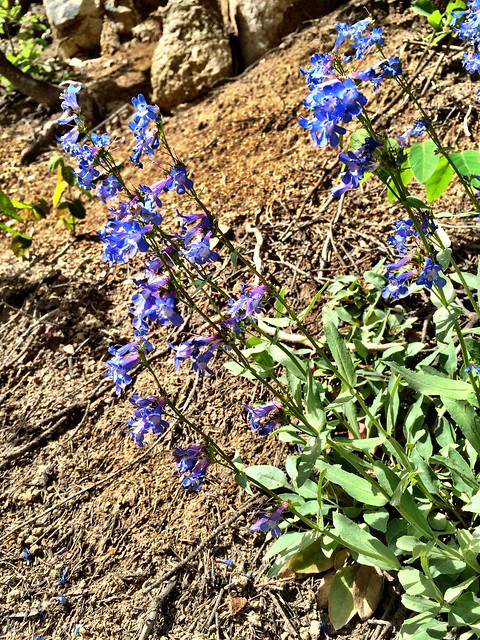 Header of Alberta Beardtongue