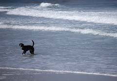 24June2014-106_CarmelBeachDogs