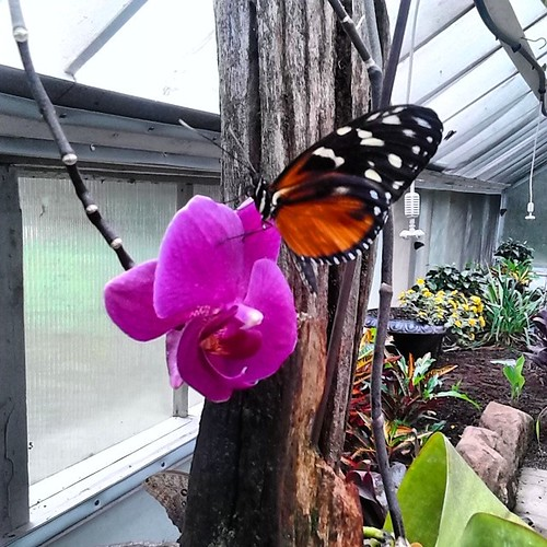 Butterfly and orchid,  New Glasgow butterfly house #princeedwardisland #pei #newglasgow #gardensofhope #butterfly #orchid