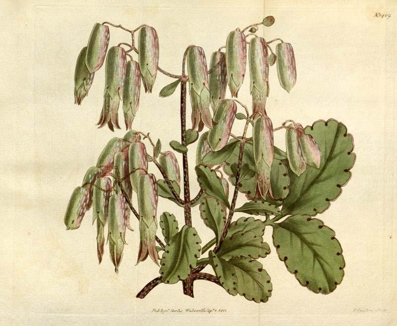 Bryophyllum calycinum im Botanical Magazin Band 34, Tafel 1409, 1811