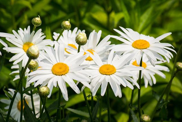 Daisy, Daisies, Flowers,