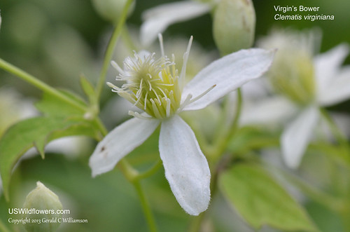 Virgin's Bower, Devil's Darning Needles, Old Man's Beard - Clematis virginiana