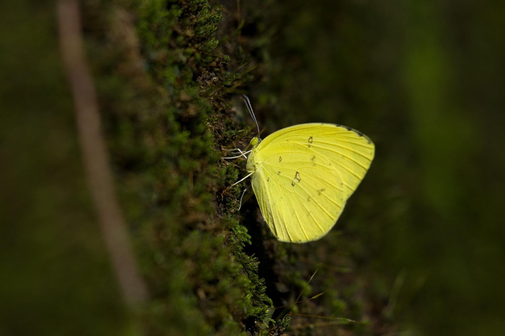 清晨黃粉蝶一張流