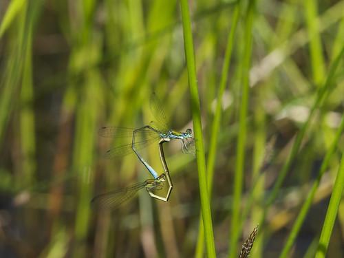 odonata zygoptera coenagrionidae