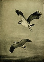 "Image from page 102 of ""Birds in flight"" (1922)"