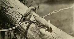 """Image from page 30 of """"Bird lore"""" (1899)"""