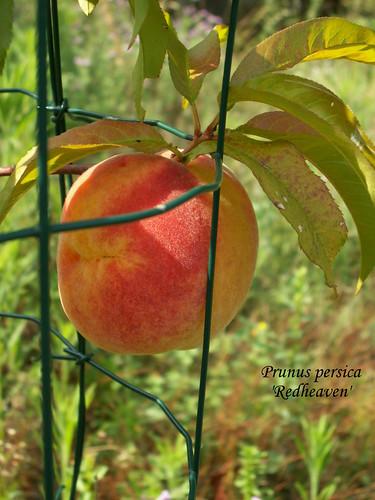 Prunus persica 'Redheaven'