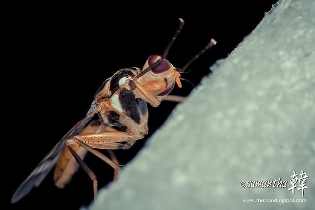 Asian Papaya Fruit Fly