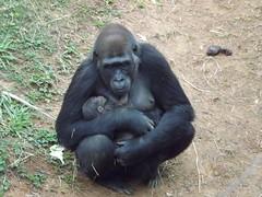 05/08/2014 - Nascimento Gorila