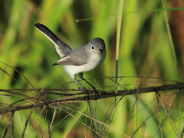 Blue-gray Gnatcatcher 5-20140822