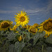 Sunflowers by Darryl Robertson