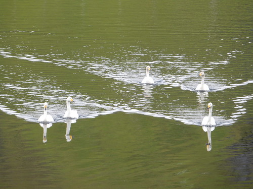 Five Swans a-swimming