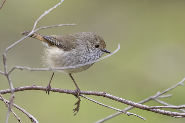 Brown Thornbill 2014-08-09 (_MG_4984)