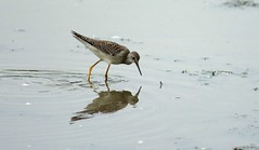 animal, charadriiformes, fauna, red backed sandpiper, redshank, calidrid, sandpiper, snipe, bird, wildlife,