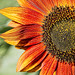 Red Sunflower by Darryl Robertson