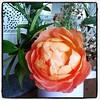 Mum's roses.