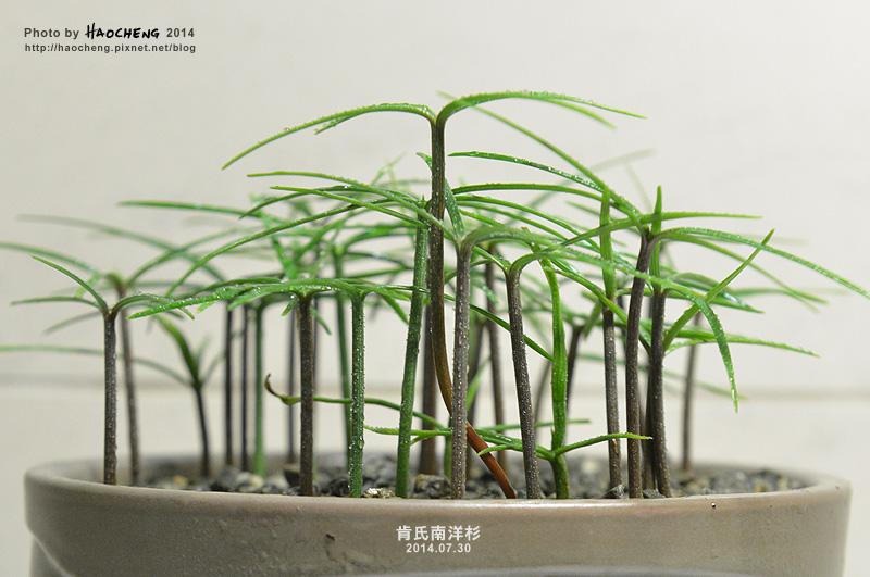 肯氏南洋杉-20140816-3s2