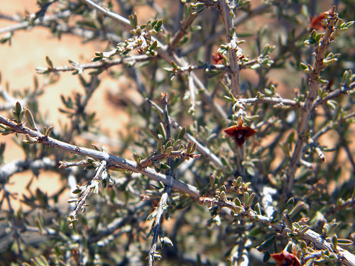 Prickly Bush in Arches National Park's Devil's Garden