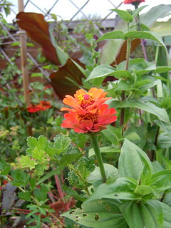 unusual zinnia