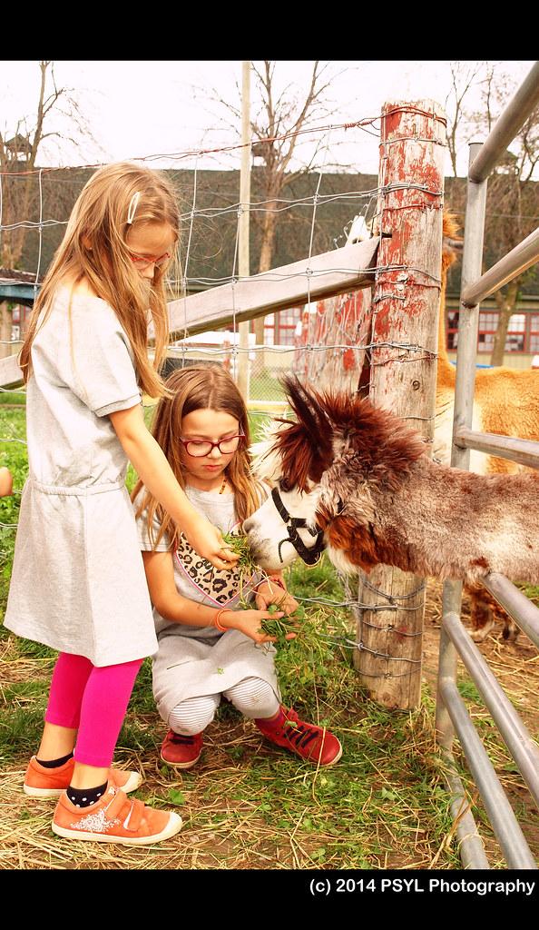 Girls feeding an alpaca