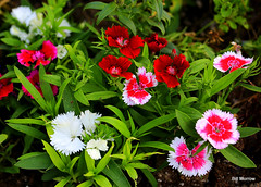 carnation(0.0), bee balm(0.0), annual plant(1.0), flower(1.0), plant(1.0), herb(1.0), wildflower(1.0), flora(1.0), floristry(1.0), dianthus(1.0), petal(1.0),