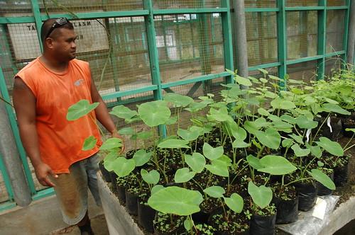 帛琉社區大學的於溫室健化中的芋頭組織培養苗。圖片提供:陳科廷。