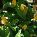 Small photo of Acanthaceae.Pachystachys lutea