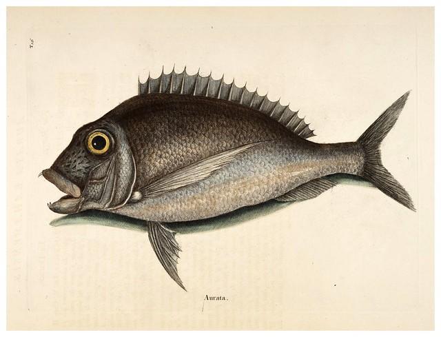 013- La dorada-Natural History of Carolina, Florida and the Bahama Islands-Vol2-1754
