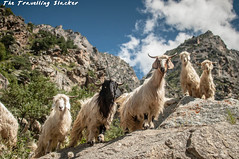 animal, mammal, goats, herd, fauna, mountain goat, wildlife,
