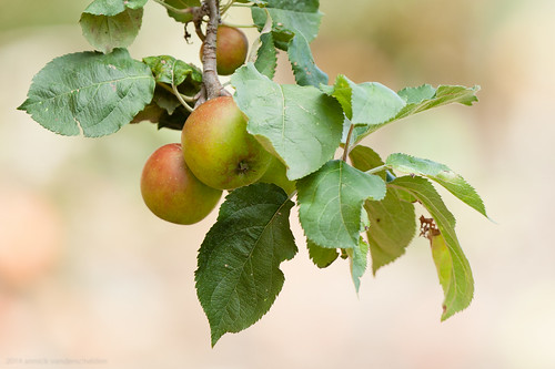 Apples and Pears-11.jpg