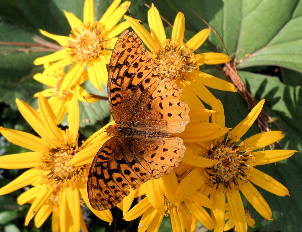 Butterfly and Ligularia