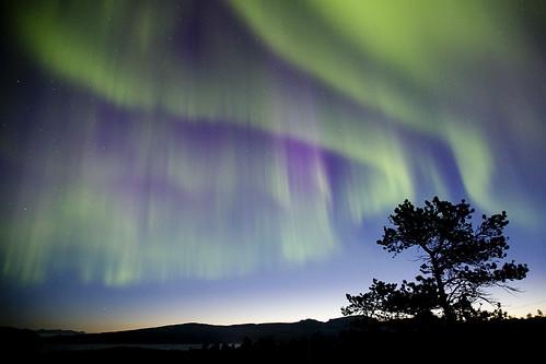 The Tree and aurora