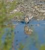 Snowy Plover - Antelope Island SP - Davis County, Utah