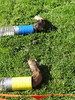 Ferret race photo finish