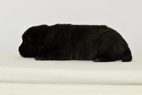 Nori-Litter2-10Days-Puppy4(male)c