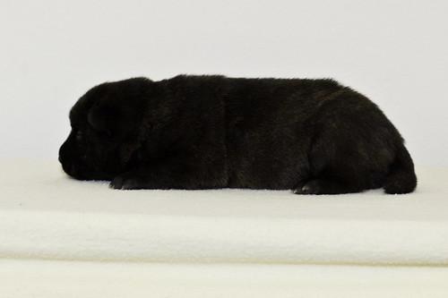 Nori-Litter2-10Days-Puppy4(male)c