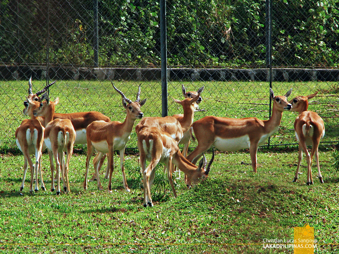 Impalas at Vigan's Baluarte