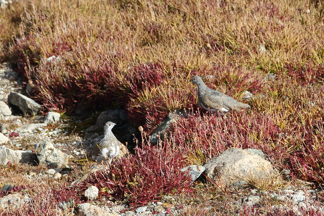 Ptarmigans at Mt Audubon