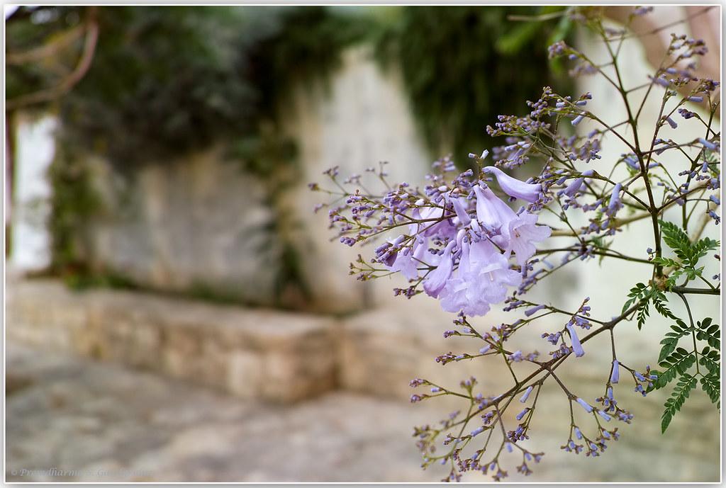 Blossoming tree in Crete