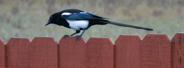 Pesty magpie....Explored..thank you!!