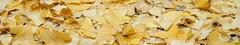 feuilles de gingko : marque-page