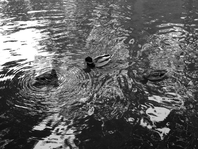 Dark day for the ducks