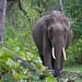 Indian Elephant, Nagarhole National Park