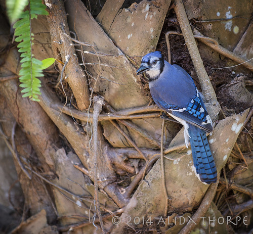 Green Cay BlueJay