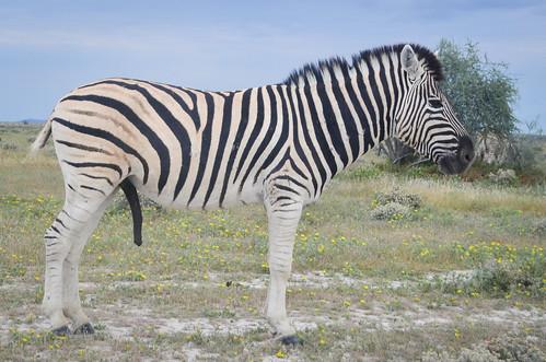 Zebras, Etosha NP