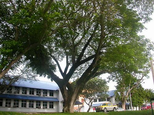 pohon angsana