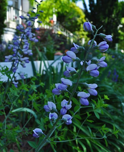Baptisia 'Purple Smoke' (1)