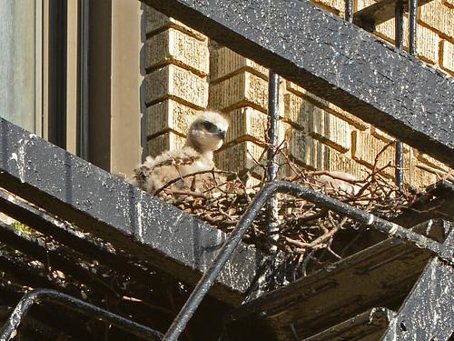JHW Hawk Nestling (9825)