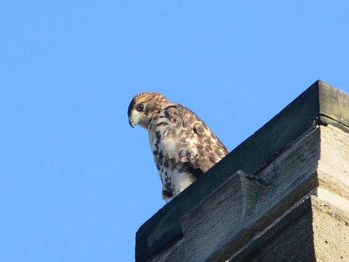 Cathedral Hawk Fledgling - 3157